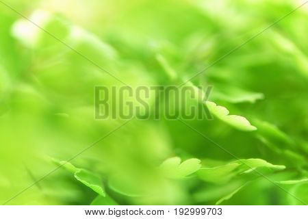 Macro Of Adiantum. Green Delicate Abstrsct Blurred Background