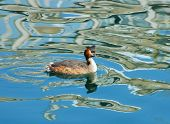Great Crested Grebe with reflection of riverside buildings in city center river. poster