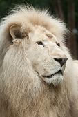 Male white lion. The white lions are a colour mutation of the Transvaal lion (Panthera leo krugeri), also known as the Southeast African or Kalahari lion. poster