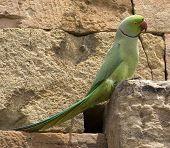 Indian Ring-Necked Parrot Taken at Qutb Minar in Delhi India poster