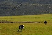 ostriches in a field eating late in the afternoon poster