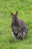 A wallaby scanning the grassland for signs of danger poster