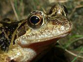 A Common Frog (Rana temporaria). poster