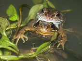 Common Frogs (Rana temporaria) in amplexus (mating). poster