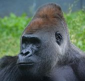 Gorillas are ground-dwelling, predominantly herbivorous apes that inhabit the forests of central Africa. The DNA of gorillas is highly similar to that of humans, from 95-99% poster