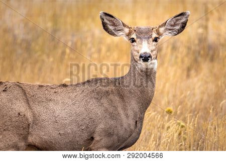 White Deer Closeup Picture In Wyoming Praire