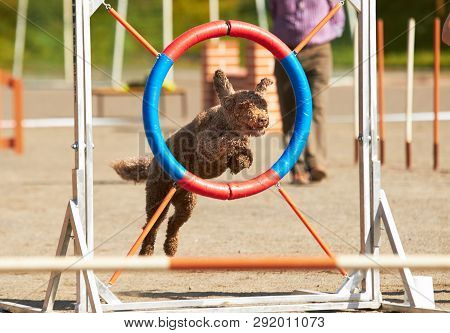 Spanish Waterdog Jumping Through A Hurdle At Dog Agility Training. Big Fur Blowing In Wind. Action A