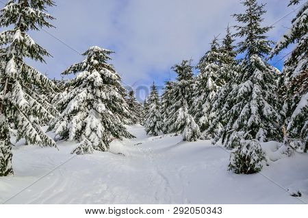 Beautiful Snow-white Mountain Landscape. Snow-covered Green Christmas Trees On A Mountain Trail.