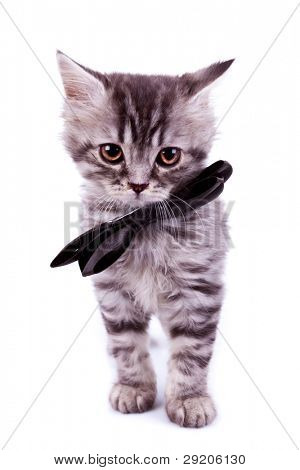 cute baby silver tabby cat wearing a black neck bow, standing and looking at the camera, on white background