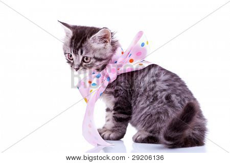 cute baby silver tabby cat wearing a pink ribbon, sitting on white background