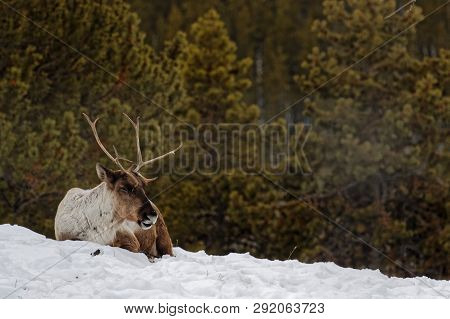 Wapiti Sitting In The Snow In The Yukon Forests