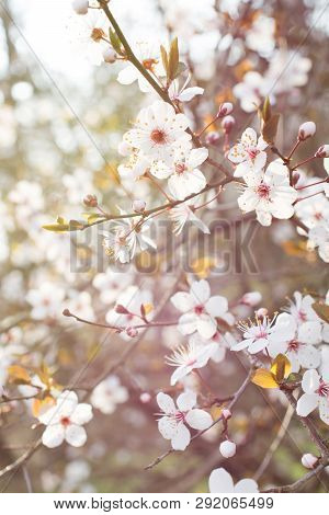 Branch Of Blooming Spring Plum Flowers On Sunrise Light