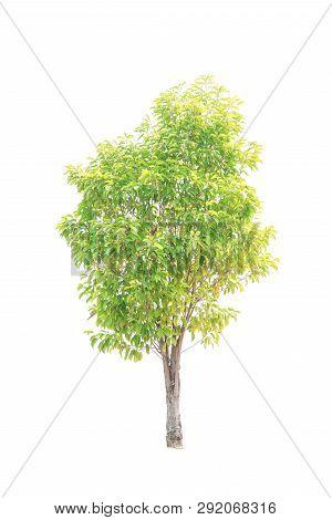 Closeup  Bullet Wood (mimusops Elengi Linn) Tree Isolated On White Background