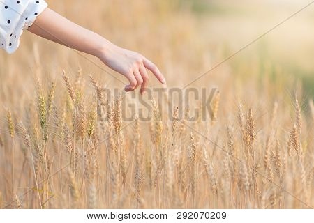 Woman Hand Touching Barley In Summer At Sunset Time