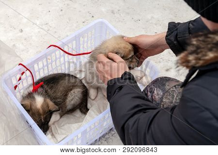 Man Buying Puppies Dogs - Huskies. A Man Picks Up A Small Puppy.