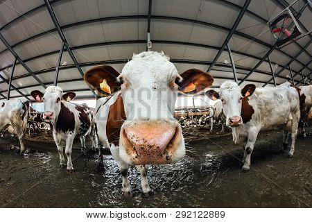 Muzzle Of Montbeliard Breed Cow, Close Up