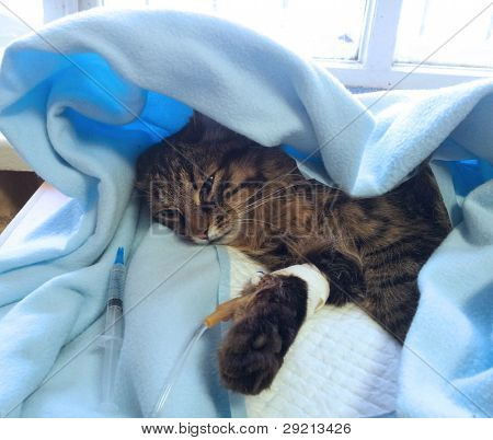 getting sick cat on a drip after surgery operation in veterinary clinic poster