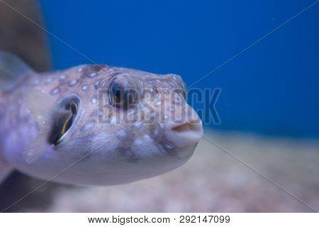 Brown Puffer, Or Brown Puffer, Or Brown Dog-fish, Or Ocular Dog-fish