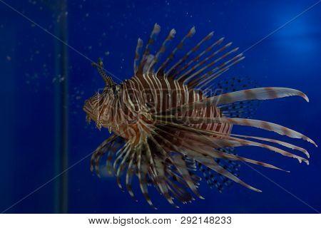 Lionfish-zebra, Or Zebra Fish, Or Striped Lionfish Lat. Pterois Volitans Is A Fish