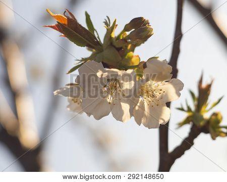 Beautiful Cherry Tree (cerasus) Flowers At Sunset