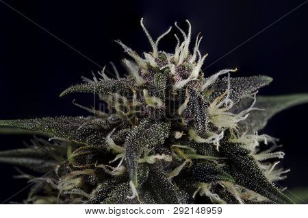 Weed Bud Flower On Dark Background With Resin