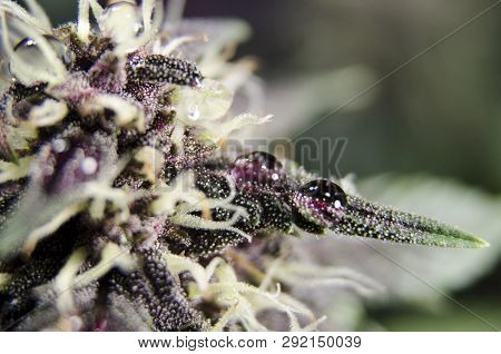 Weed Bud Flower Detail With Resin
