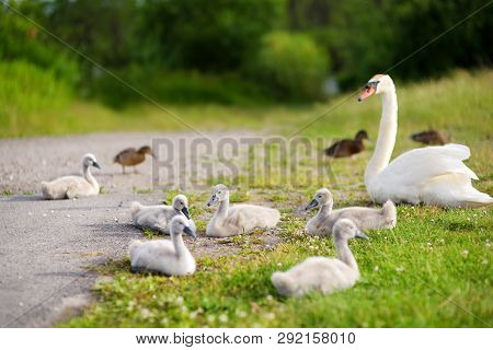 Mother Swan And Her Younglings Resting On Green Grass By A Pond