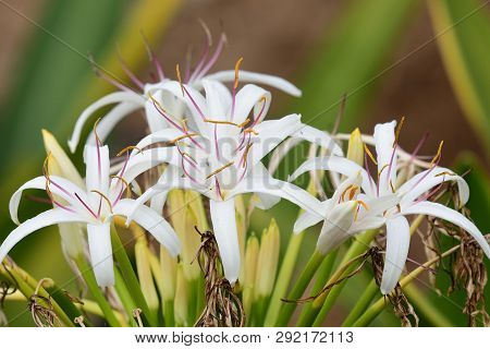 Close Up Of A Crinum Lily (crinum Asiaticum) In Bloom
