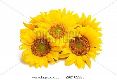 Sunflower Yellow Flower Isolated On White Background