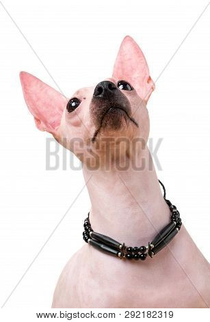 American Hairless Terrier dog  portrait close-up with native indian choker isolated on white background looking up poster