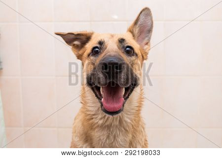 Bathing Of The Funny Mixed Breed Dog. Dog Taking A Bubble Bath. Grooming Dog.
