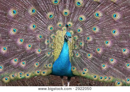 Peacock In Full Color