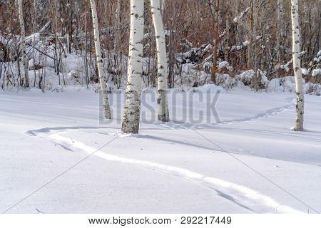 Trail On Sunlit Snow And Quaking Aspens In Utah