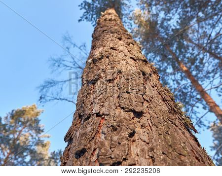 Bottom View Of Tall Old Pine Trees In Evergreen Primeval Forest With Blue Sky In Background. Pine Fo