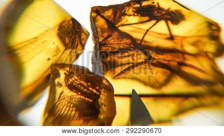 Amber Stone. Authentic Baltic Amber With Prehistoric Fossil Insect Macro. Magnifying Glass And Incre