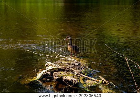 Duck Swimming In The River Gauja. Duck On The Wooden Log In The Middle Of The River Gauja In Latvia.