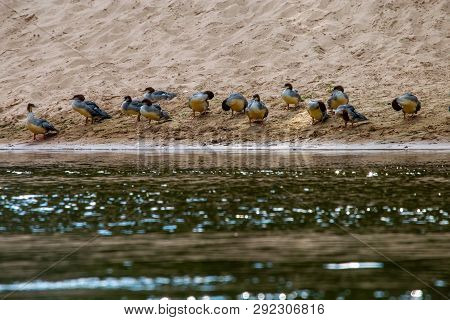 Ducks swimming in the river Gauja. Ducks on coast of river Gauja in Latvia. Duck is a waterbird with a broad blunt bill, short legs, webbed feet, and a waddling gait. poster