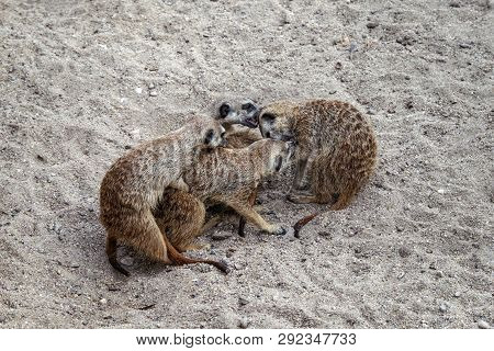 Gopher; Rodent; Game; Couple; Love; Relationships; Mating; Offspring; Spring; Sand; Stones; Season;