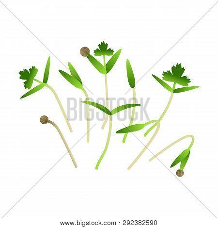 Microgreens Cilantro. Bunch Of Plants. Vitamin Supplement, Vegan Food