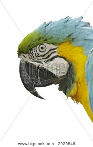 Blue And Yellow Macaw, Side View Of Head, Isolated