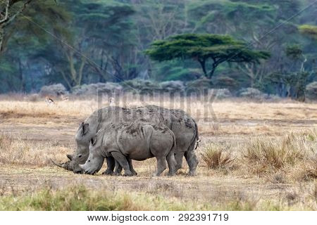 Mother and child white, or square-lipped, rhinos the grassland of Lake Nakuru national park. Gazelles and the fever tree forest can be seen behind.