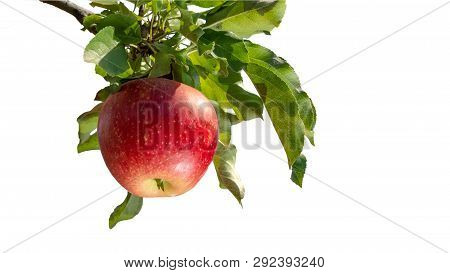 Branch Of Ripe Red Apples With Showers Close-up Isolate On White Background. The Concept Of Successf