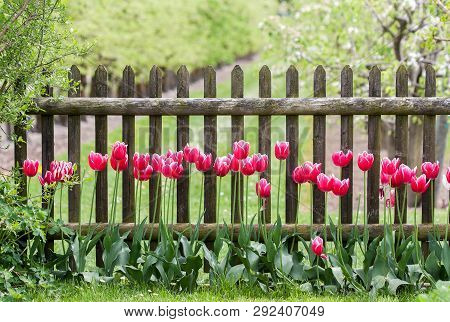 Red Tulips At Garden Fence In Spring Time