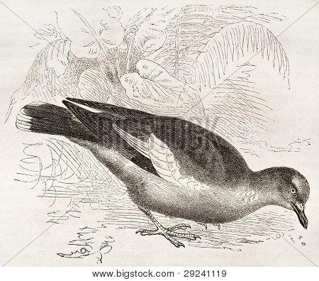 West Peruvian Dove old illustration (Zenaida meloda). Created by Kretschmer and Jahrmargt, published on Merveilles de la Nature, Bailliere et fils, Paris, ca. 1878 poster