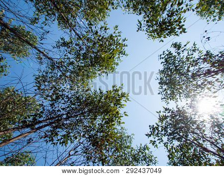 View At The Treetop Of Eucalyptus Trees In The Farmland