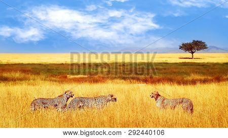 Group Of Cheetahs In The African Savannah. Africa, Tanzania, Serengeti National Park.  Wild Life Of