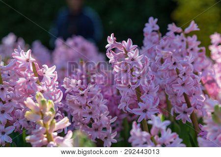 Hyacinth Flower In Garden