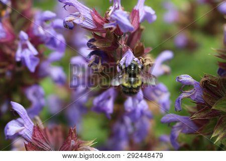 A Close Up Of A Honey Bee, Apis, On A Lavendar Plant, Lavandula Spica..