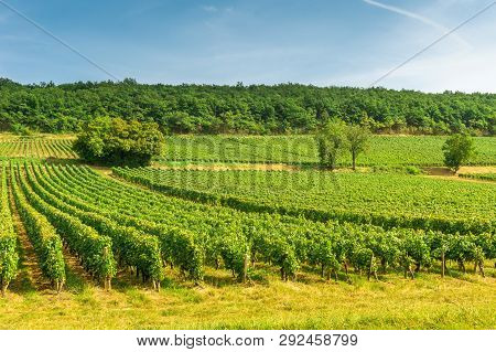 Rows Of Vineyard Grape Vines, Landscape With Green Vineyards In Bourgogne, France