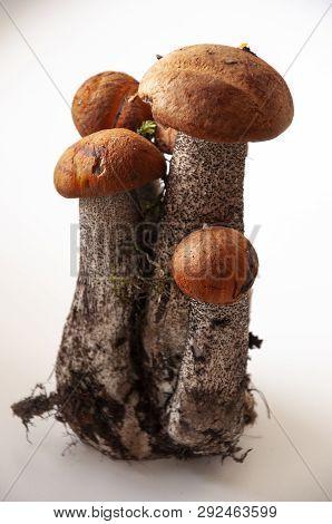 Five big orange-cap boletus mushrooms on the white background poster